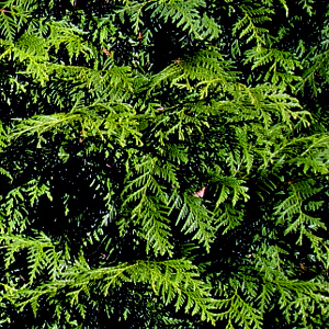 conifer-leylandii