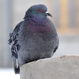 Pigeon waste
