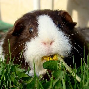 Guinea Pig Poo & Bedding